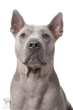 Thai Ridgeback, Real Dog, Dog List, Purebred Dogs, Wild Dogs, Dog Rules, Cute Animal Pictures, Dog Photos, Beautiful Dogs