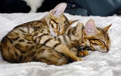 Bengal Kitties! Goodness they are so stinkin cute.