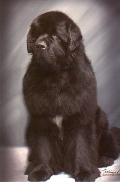 Nelson of Mooncusser Newfoundlands