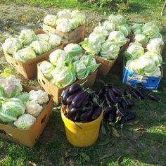 Legume - Producător Legume Severin Cabbage, Vegetables, Food, Essen, Cabbages, Vegetable Recipes, Meals, Yemek, Brussels Sprouts