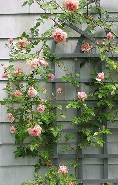 Rose trellis by cora