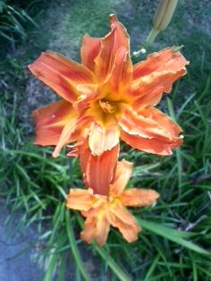 Double Day Lilly - will be in the garden by fall