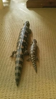 Mum and baby Tiny after almost 3 months blue tongue skink  #blotchedbluetongue