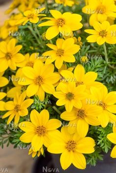 bidens mega charm - Google Search Wheelbarrow Planter, Planters, Charmed, Google Search, Plant, Window Boxes, Pot Holders, Flower Planters, Pots