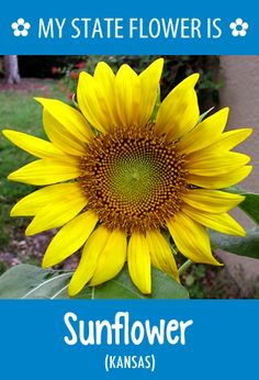 #Kansas' state flower is the Sunflower. What's your state flower? http://pinterest.com/hometalk/hometalk-state-flowers/