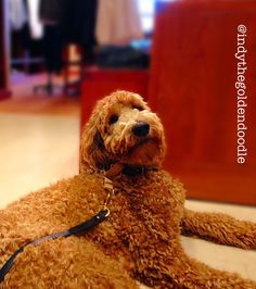 J Crew Indy the Goldendoodle  Therapy Dog in Training