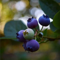 Blåbær - rigtig beskæring giver flere bær. - VarmKaffe.dk Garden Trees, Trees To Plant, Er 5, Watercolor Pictures, Purple Art, Fruit Art, Diy Planters, Edible Garden, Vegetable Garden