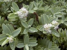 New Zealand Native Plants Photography - recently added NZ native plants at NZ Plant Pics stock photography. Browse most recent native plant photography added to the NZ Plant Pics site. Specimen Trees, Small Gardens, Native Plants, Dream Garden, Botany, Evergreen, Shrubs, White Flowers, New Zealand