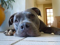 Pit Bull Dogs Potty training a Blue Nose Pitbull is no different than potty training any other dog. Like other breeds, the Blue Nose Pit needs patience Pit Bulls, Pitbull Americano, Training Your Dog, Potty Training, Training Tips, Training Classes, Blue Nose Pitbull, Education Canine, Bull Terrier Dog