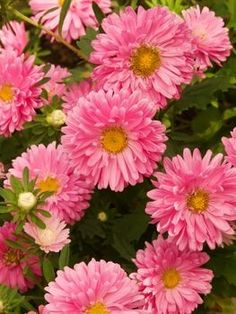 Aster Flower Care