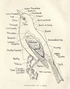 Wonderful Drawing Of A Bird Identifying The Parts Their Anatomy