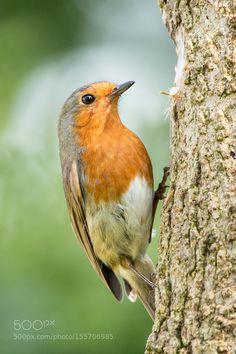 Robin on a tree trunk by MattGould #animals #animal #pet #pets #animales #animallovers #photooftheday #amazing #picoftheday