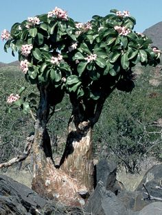 Adenium boehmianum (Bushman's Poison) → Plant characteristics and more photos at: http://www.worldofsucculents.com/?p=3150