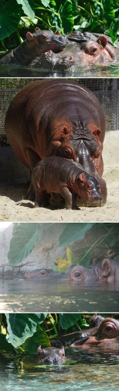 the San Diego Zoo welcomed a newborn hippopotamus calf to its Lost Forest habitat. The curious baby appears to be healthy and isn't straying far from its mother, Funani. Baby Hippo, Baby Animals, Cute Animals, Forest Habitat, San Diego Zoo, Majestic Animals, Making Waves, African Animals, Photos