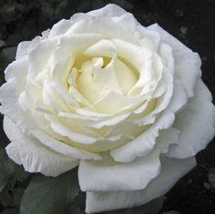 Vitality - Rose de jardin - Roses - Fleurs par catégorie | Sierra Flower Finder
