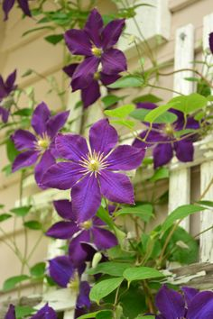 Jackmanii Clematis; just planted to grow up my New Dawn rose. So excited!