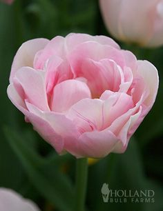 Double tulips have large long lasting blooms that are excellent cut flowers. Double tulips are often called peony tulips. These fragrant beauties of a rosy cream color are as romantic as tulips can get! The blooms of this Finola Double Tulip appear in last spring on sturdy stems that stand up to blustery spring winds. Represents perfect love & eternal happiness!