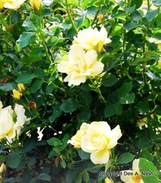 Ten roses that thrive in Oklahoma - Oklahoma City Gardening | Examiner.com