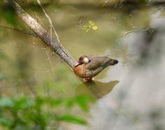 Foto pé-vermelho (Amazonetta brasiliensis) por Francisco Paludo | Wiki Aves - A Enciclopédia das Aves do Brasil