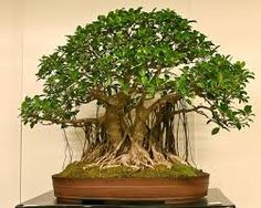 Image result for wild fig bonsai