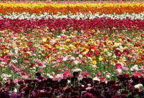 Flower fields in Carlsbad, CA.  One of the coolest places I've ever been.  Would love to see it again.
