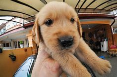 adorable,golden retriever puppy
