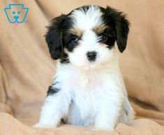 Chuck | Cavachon Puppy For Sale | Keystone Puppies Puppies For Sale, Dogs And Puppies, Cavachon Puppies, Fun, House, Animals, Animales, Home, Animaux