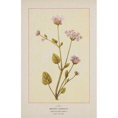 Wild Flowers of America 1894 Abronia Turbinata Canvas Art - Unknown (18 x 24)