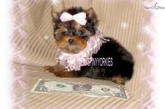 Tiny Tinka - Female Yorkshire Terrier - Yorkie for Sale Yorkies For Sale, Yorkie Puppy For Sale, Puppies For Sale, Micro Teacup Yorkie, Yorkshire Terrier, Teddy Bear, Female, Dogs, Animals