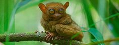 The tarsier is not only one of the world's smallest primates, it's also a creature full of unusual evolutionary developments. The animal's name comes from the extremely long tarsus bones of its feet. Long feet and long hind legs help the tarsier jump around the tropical forests on the islands of Southeast Asia, where it feasts on insects, small lizards, and even bats and birds. That's right, the tiny tarsier is entirely carnivorous – the only primate to hold that distinction.
