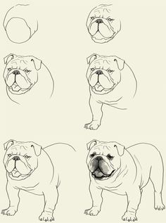 How to draw Bulldog. Learn to draw an English Bulldog step by step images along with easy to follow instruction. Here is another dog family creatures though its body aren't quit the same as a typical dog. In this tutorial,…