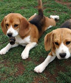 English Foxhound breed info,Pictures,Characteristics,Hypoallergenic:No