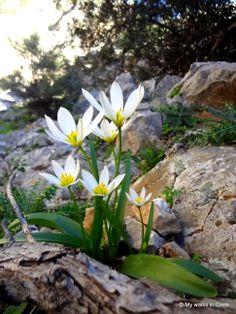 Amazing how Cretan tulips are blooming on rocks #Akrotiri #Crete http://mywalksincrete.wordpress.com/