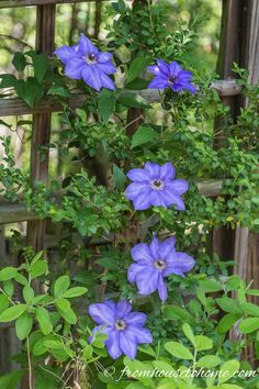 Clematis is a flowering vine that is perennial and grows in part shade. It has such beautiful flowers and is easy to grow making it a great plant for landscaping. Find out more about how to grow and prune Clematis, as well as some of the best varieties. Clematis Care, Blue Clematis, Clematis Trellis, Clematis Plants, Autumn Clematis, Clematis Flower, Part Shade Perennials, Sun Perennials, Purple Garden