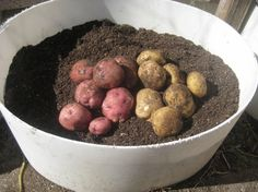 how to grow potatoes in a container.