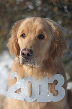 Golden Retriever Holiday Dogs Happy New Year Puppy #NewYear Puppies Merry Christmas