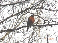 The first robin I've seen this year. And a fat one too!  —Bad Bob Hammond, Fairbanks