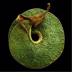 Colored Micrographs Magnify Pollen Seeds, Plant Cells, and Leaf Structures in Photographs by Rob Kesseler Leaf Structure, Flora Und Fauna, Plant Cell, Macro And Micro, In Natura, Organic Form, Seed Pods, Natural Forms, Natural Structures