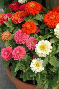Beehive-shaped flowers in pastel and jewel-tones make this zinnia a standout in the flowerbed. Like all zinnias, it's a great cut flo. Hd Flowers, Dahlia Flower, Flowers Nature, Container Flowers, Container Plants, Container Gardening, Beautiful Gardens, Beautiful Flowers, Good Morning Rose Images