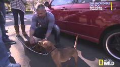 Dog Whisperer with Cesar Millan | Season 9 Episode 11 | Hollywood Hounds...