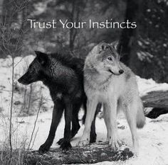 Trust Your Instincts--Gray Wolves--Wolf Den Shared Infinitely Wolves Photo I love this photo. It's symbolic and like the Cherokee Proverb about the 2 wolves within. Arktischer Wolf, Wolf Love, She Wolf, Wolf Den, Beautiful Creatures, Animals Beautiful, Cute Animals, Baby Animals, Wolf Spirit