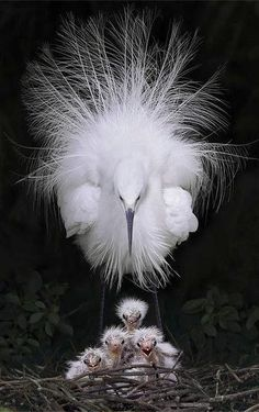 Protecting the nest - Beautiful White Egret with chicks