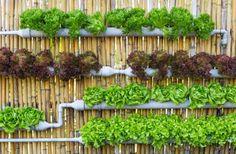 A horta hidropônica utiliza a água para nutrir as plantas. Está técnica é um pouco mais complexa do que o plantio no solo, contudo para quem tem pouco espaço e não gosta de sujeira é uma excelente solução. Faça a estrutura usando canos de PVC com dez a 20 cm de diâmetro e furos (feitos com a serra copo) para a inserção das mudas. Na imagem os canos estão afixados em uma cerca de bambus