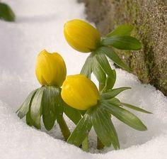 Winterlinge sind liebenswerte kleine Frühlingsboten.