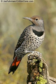 Northern Flicker, occasionally comes into the backyard for peanut suet. Seen again on 7/26/13, 6' away for 5 min. I need a bird cam!