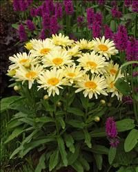 """Leucanthemum Banana Cream    Leucanthemum s. 'Banana Cream' PP23181  """"Reoccurring soft yellow blooms make this a charmer in the garden. No staking required as this sturdy little perennial is constantly in the pleaser mode casting before you splashes of sunshine day in and day out.""""  --P. Allen Smith  Watch Allen's video on 'Banana Cream' here."""
