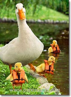 Funny Farm Animals: Mother duck is overseeing swimming lessons. Too funny! Farm Animals, Animals And Pets, Funny Animals, Cute Animals, Beautiful Birds, Animals Beautiful, Animal Pictures, Funny Pictures, Art Beauté