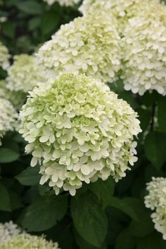 Hydrangea paniculata 'Limelight' (PBR), hydrangea. Sturdy stems carry dense, upright clusters of lime green buds that open to greenish-cream flowers from midsummer to late autumn. The flowers become pinker with age so it is possible to have pink and cream coloured flowers on the plant at the same time. They are deal for using in cut flower displays.
