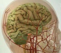 Очищение сосудов головного мозга очень важная процедура, которая способна значительно улучшить ваше самочувствие при ряде заболеваний, от остеохондроза шейного отдела до атеросклероза.