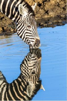 Beautiful Mirrored Zebra Having a Drink of Water. Animals Of The World, Animals And Pets, Funny Animals, Cute Animals, Wildlife Photography, Animal Photography, Travel Photography, Beautiful Creatures, Animals Beautiful